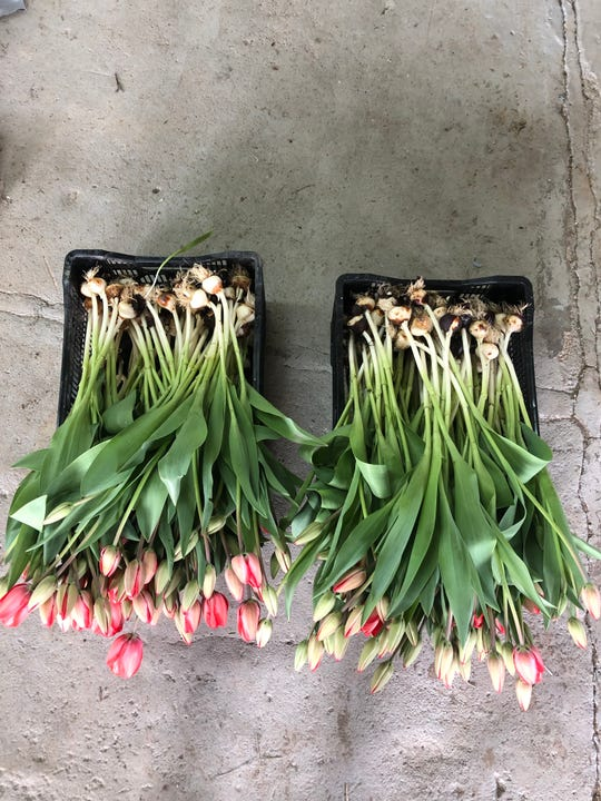 Tulips from Carolina Flowers on their way to Asheville City Market-Winter.