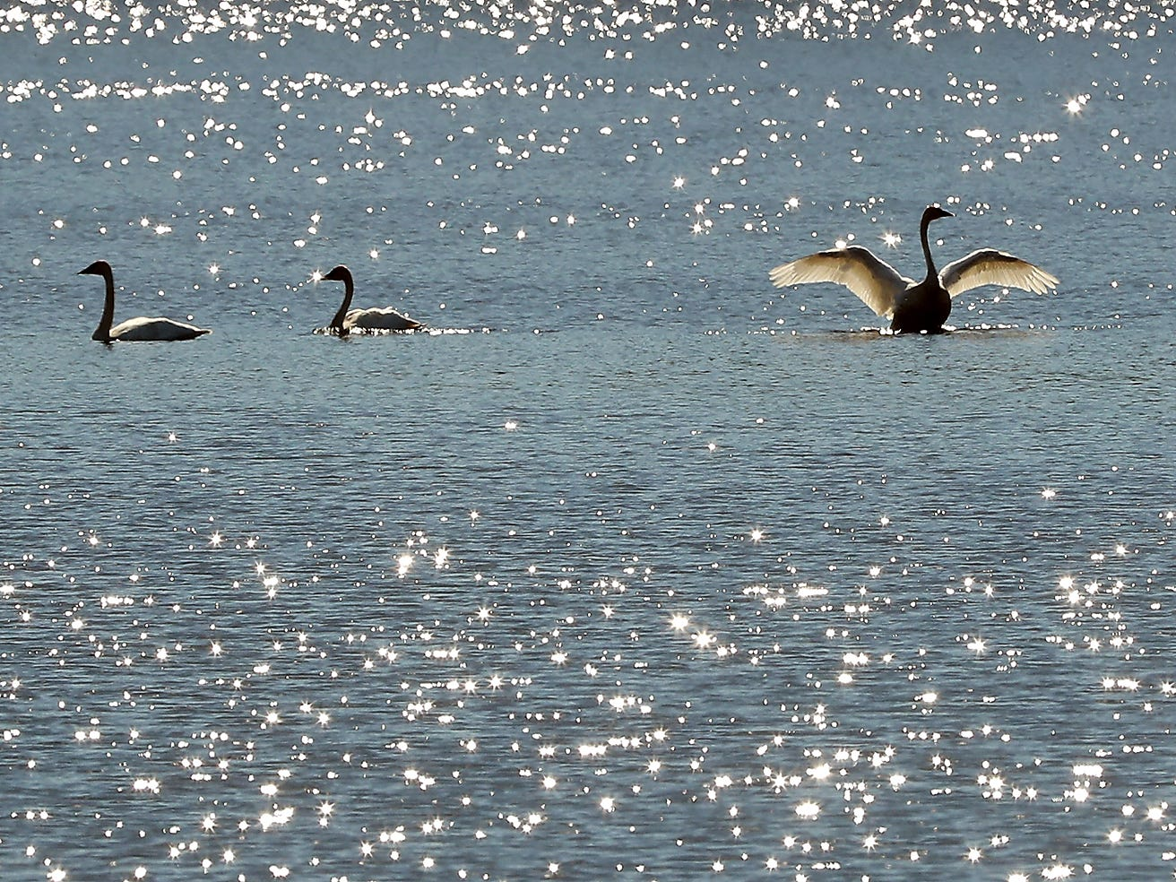 A flock of swans are silhouetted against the glimmering water of Long Lake in Port Orchard on Monday March 18, 2019.