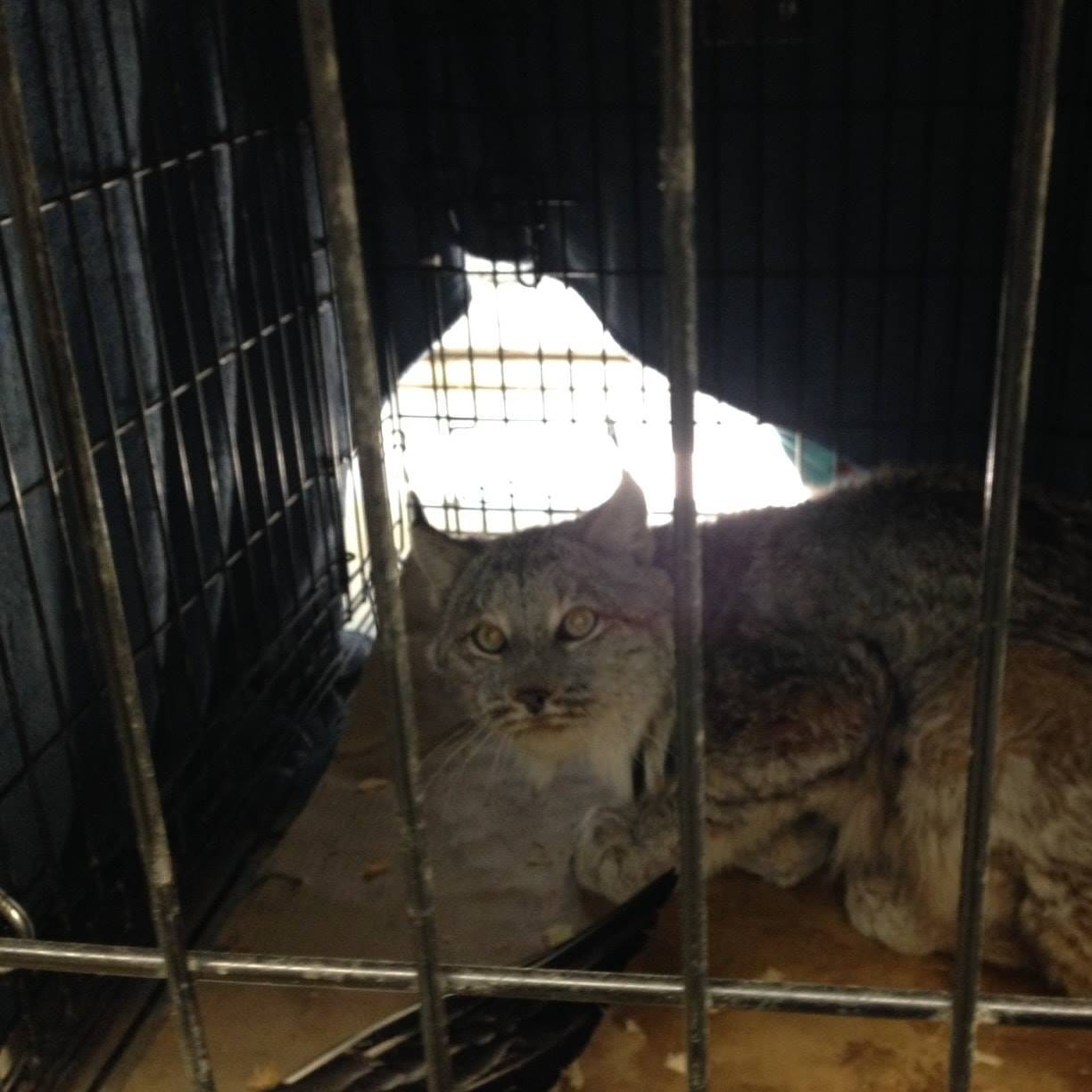 1st live lynx captured in Michigan, taken to nature center