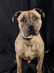 Titan is a Pitt/Mastiff mix looking for a home.