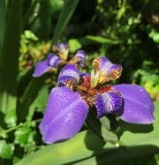 A pilgrim iris in my garden