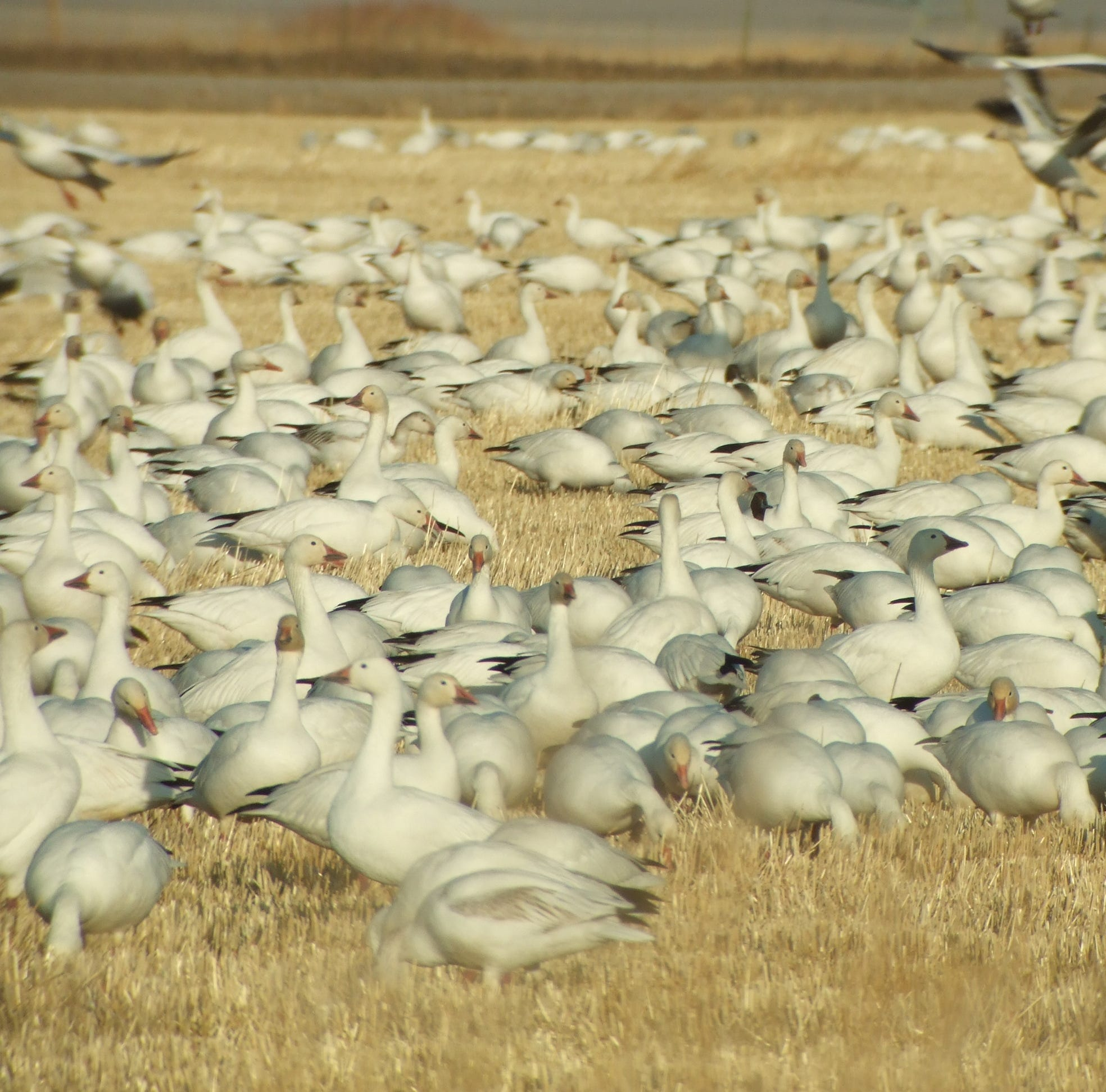 Early birds in 'remarkable' migration find Montana's Freezout Lake frozen