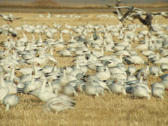 Snow geese gather in a field near Freezout Lake this week as they wait for ice on the field to melt.