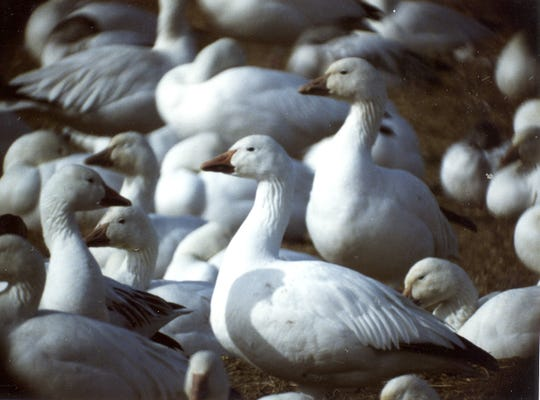 More than 100,000 white geese, which includes both snow geese and Ross's geese, and tundra swans gather at Freezout Lake at the end of March each year.