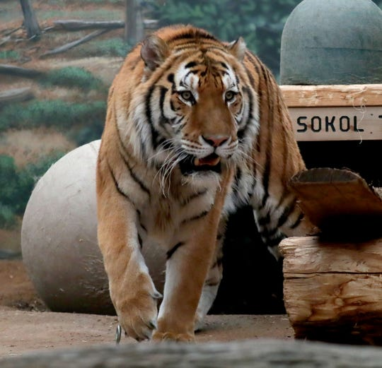 Kash, an Amur tiger, was raised by zookeepers at the Milwaukee County Zoo. While Milwaukee zookeepers occasionally hand-raise animals, they generally prefer not to because of problems imprinting with humans. But in some cases they must to save the animal's life.