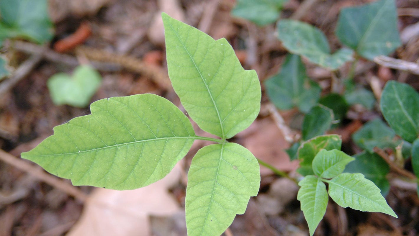 Poison Ivy Poison Sumac More Identify Plants That Can Hurt You