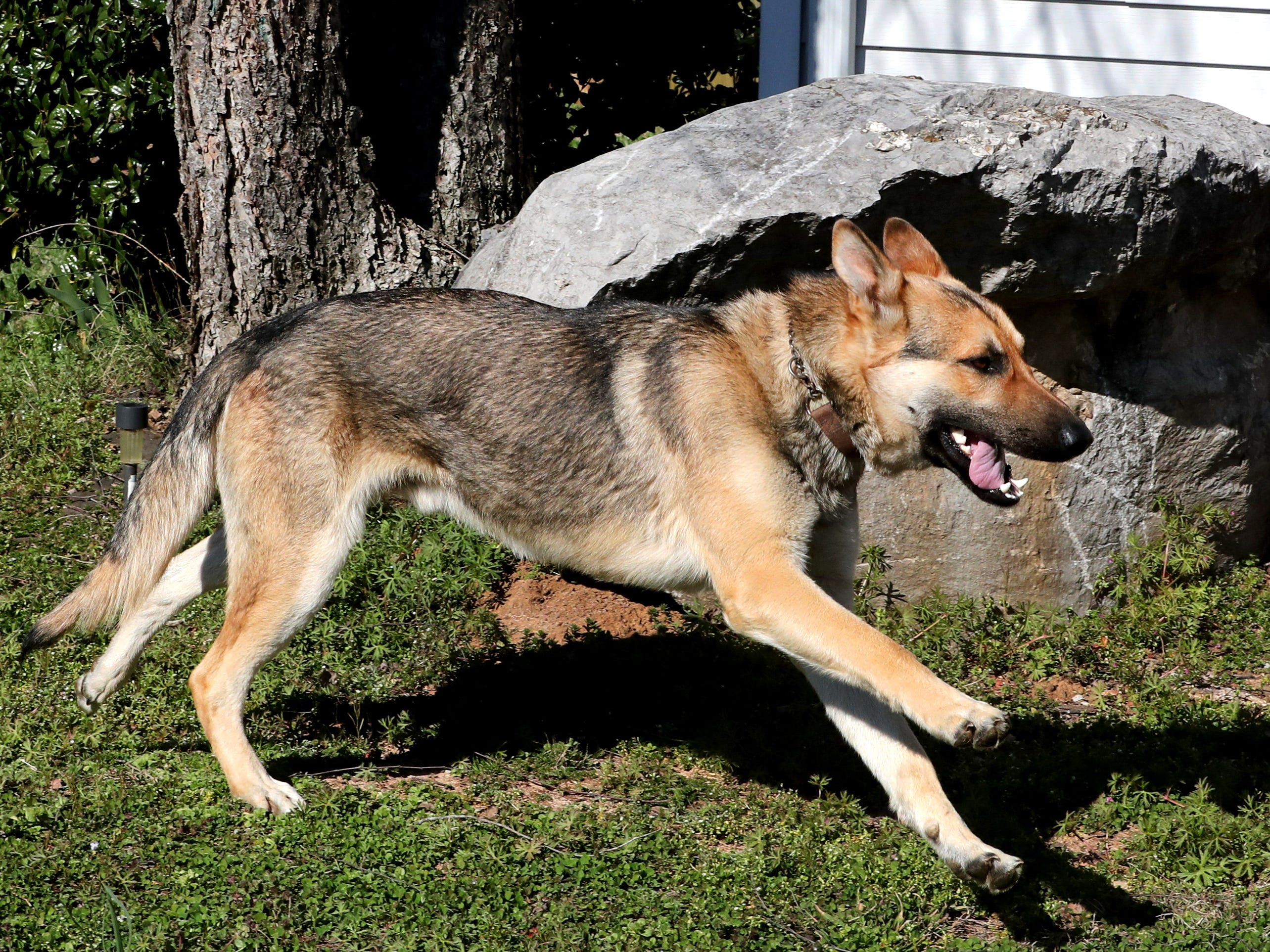 Goblin, the White family's missing dog runs around their yard on Tuesday, March 19, 2019, after Goblin was returned to the family after being officially reported missing since March 10.