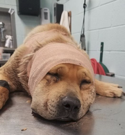 The Animal Service Center of the Mesilla Valley took in a 75-pound mixed-breed dog on Thursday, March 14, 2019 that is believed to have been shot. The dog was found in the desert near Holman Road.