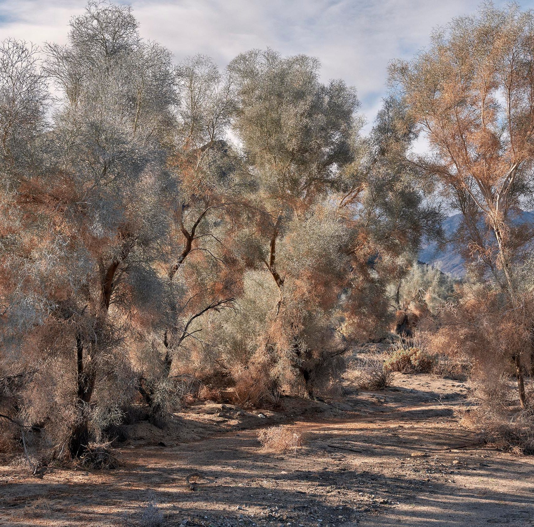 Can't get enough of the super bloom? New exhibition celebrates the desert's smoke tree