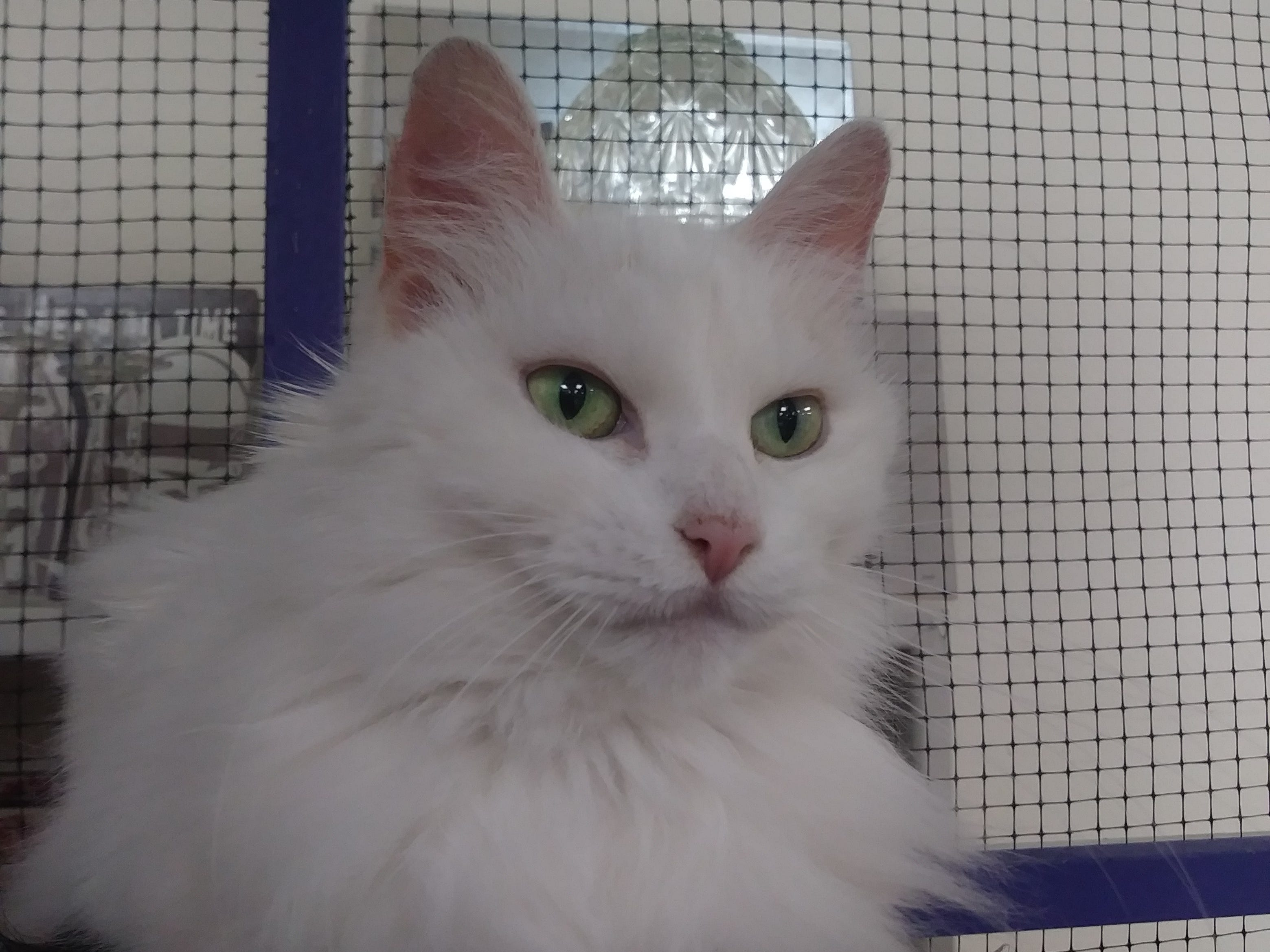 Princess is a tri-colored female cat who is very calm and gets along well with other cats. Email Spay Neuter and Protect at Snap.spayneuterandprotect@gmail.com. Call 209-6966.