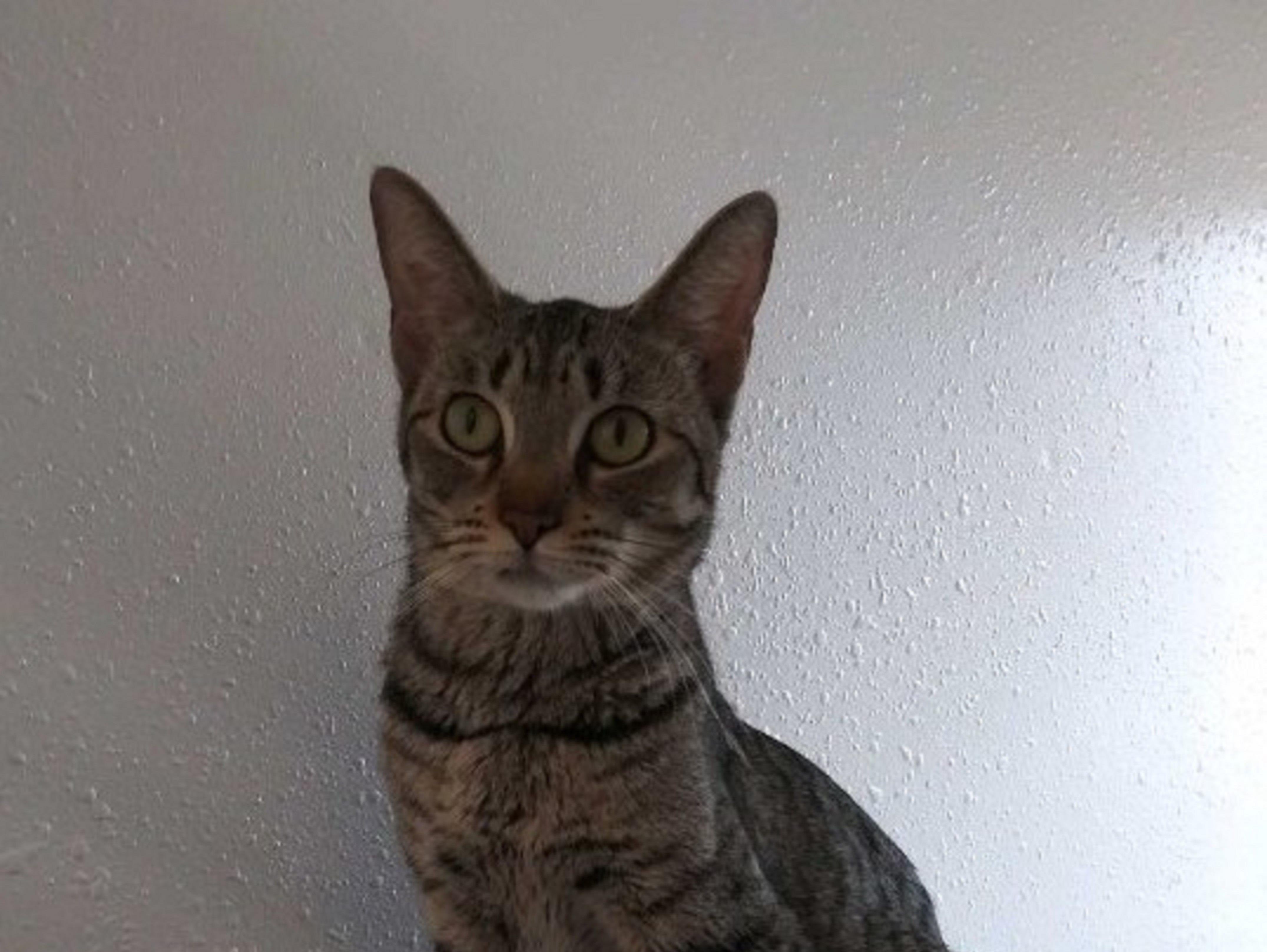 Ember is a sweet, friendly, female, domestic short-haired cat with spotted and striped markings. She gets along with just about everyone who is friendly to her. Raining Cats N Dogs adoptions include spay/neuter services, vaccines and vetting as needed. Call 232-6299. Go to http://rainingcatsndogs.rescuegroups.org.