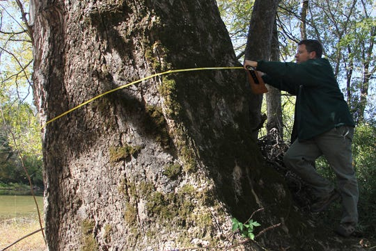 Greg Cassell, a resource forester with the Missouri Department of Conservation,  uses a tape to measure a massive American sycamore tree growing on the edge of Bull Creek in Taney County.
