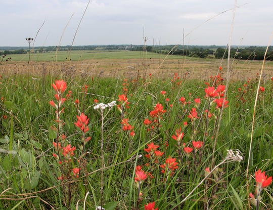 Indian paintbrush thrives in Missouri, especially after a controlled burn helps fertilize the soil with ash.