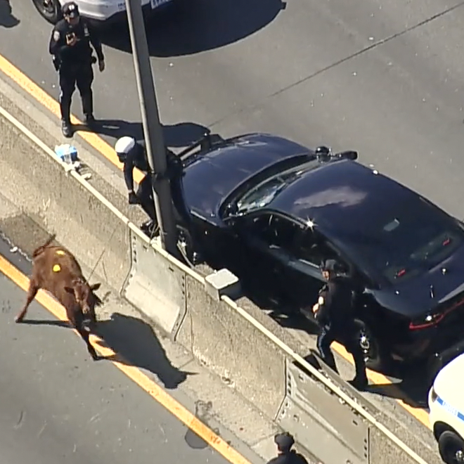 Police corral runaway calf in the Bronx
