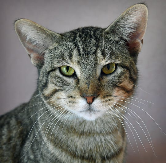 Templeton is a 3-year-old, gray tabby, domestic short-hair. He has been neutered, vaccinated and microchipped. Templeton is good with children and would make a good only cat. He is available for adoption at the Humane Society of Wichita County.
