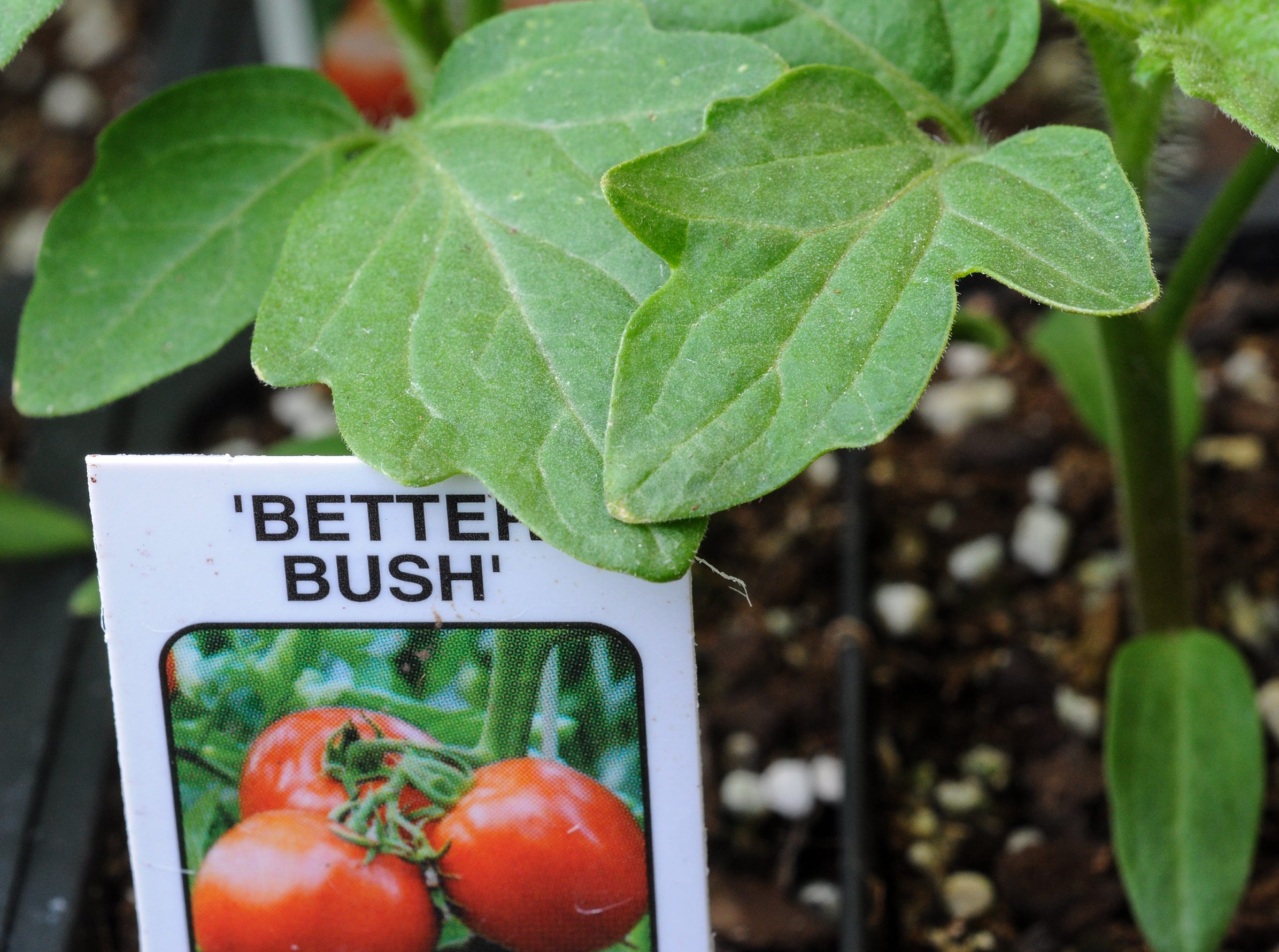 Leaves from a tomato plant for sale at McAlister Greenhouse during the first day of spring in Anderson Wednesday.