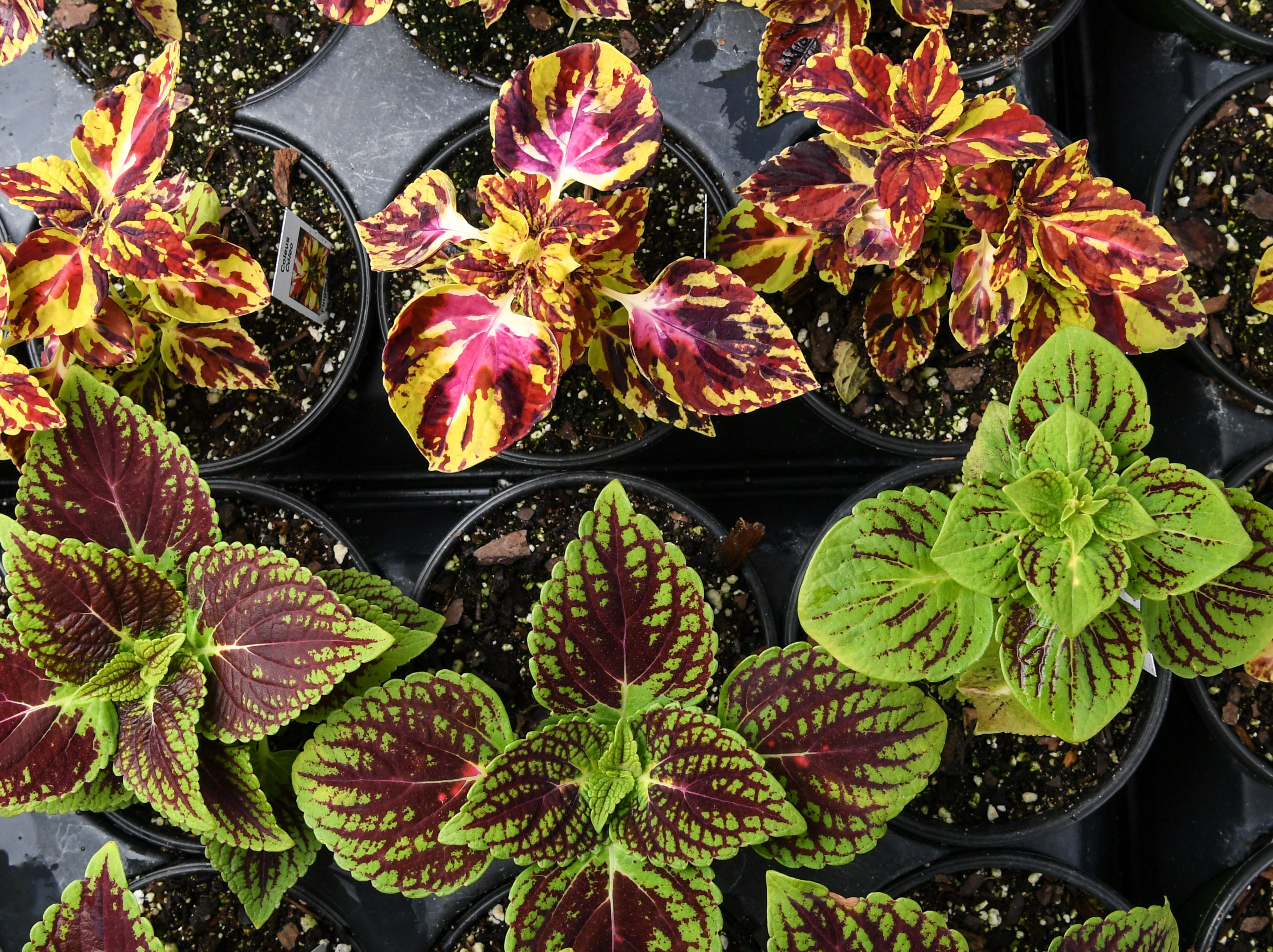 Coleus, one of many plants selling during spring months in Anderson Wednesday.