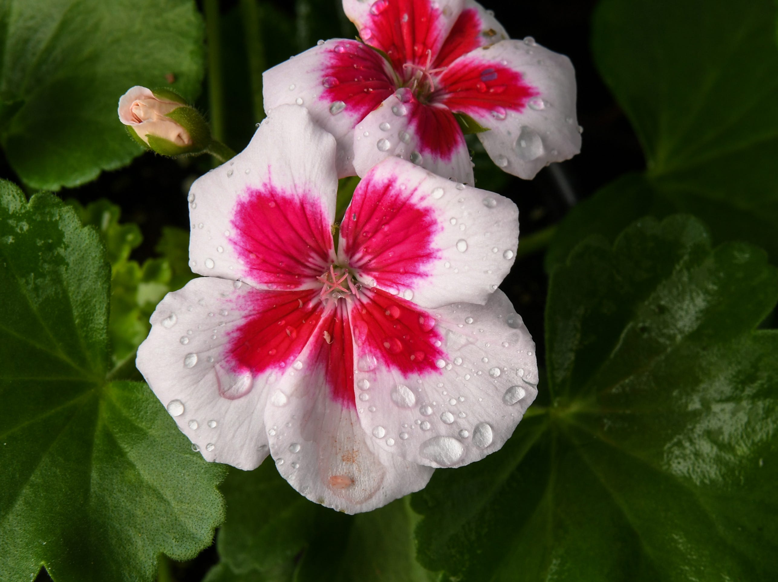 A flower of a geranium in bloom, one of many plants selling during spring months in Anderson Wednesday.
