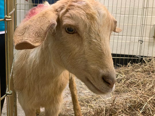 Alondra, a 1-year-old goat, was found roaming a Bronx construction site Tuesday night. Tracey Stewart, an animal advocate and wife of comedian Jon Stewart, helped rescue her.
