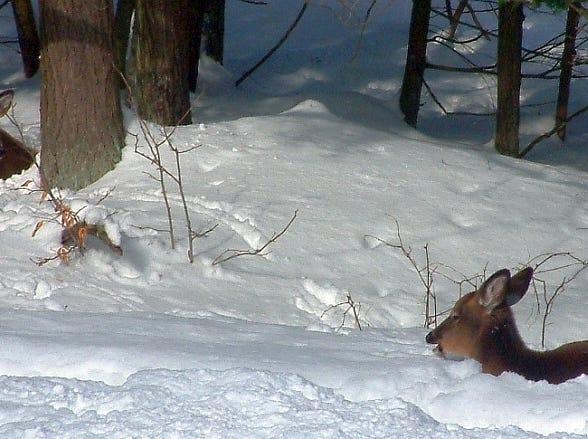 Deer in Vestal Center.