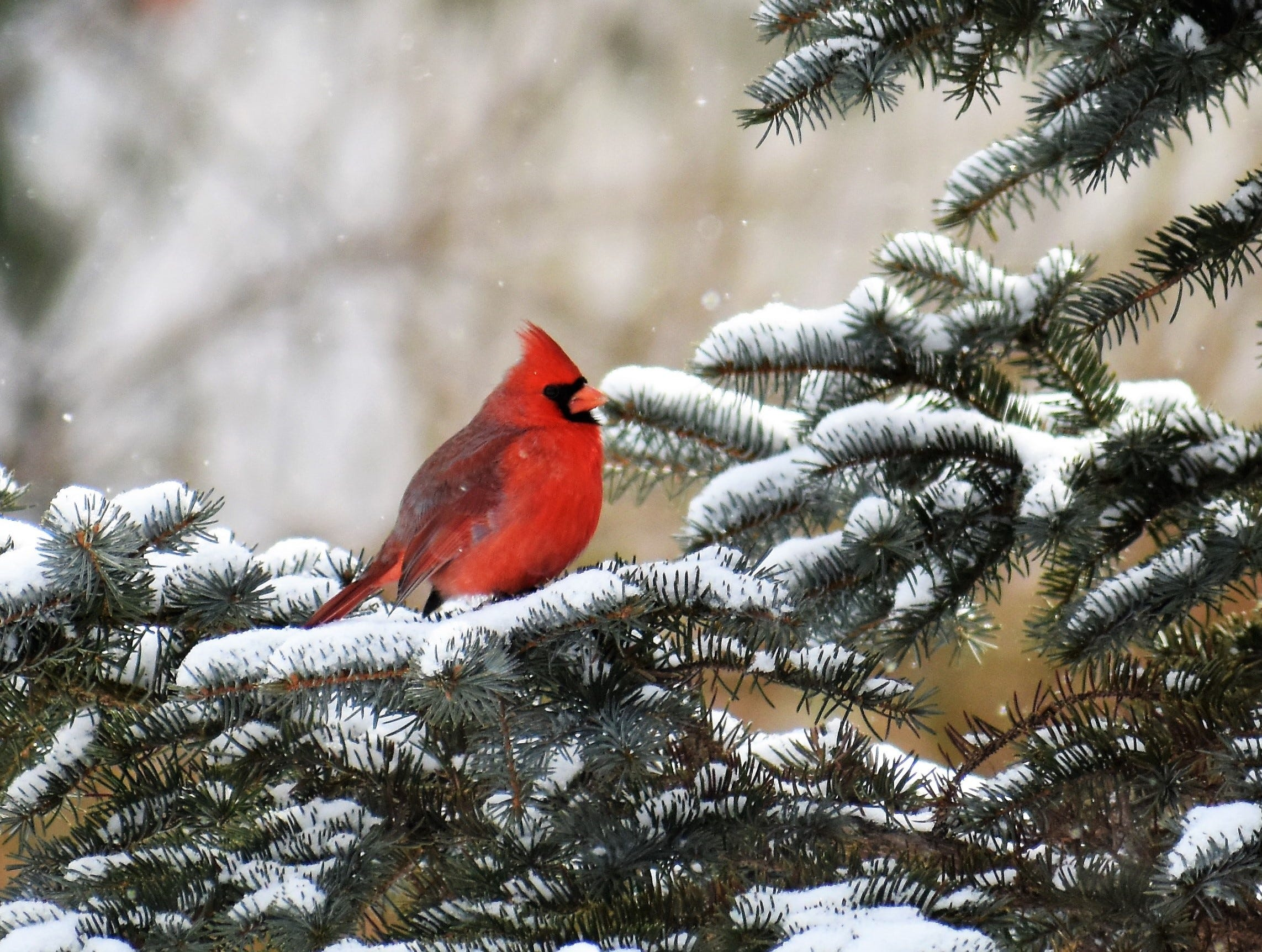 A cardinal in Owego.