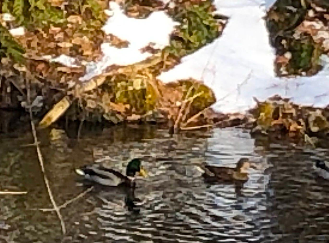 Ducks in Chenango Forks.