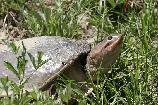 Softshell turtles in Florida  may be dying to a virus.