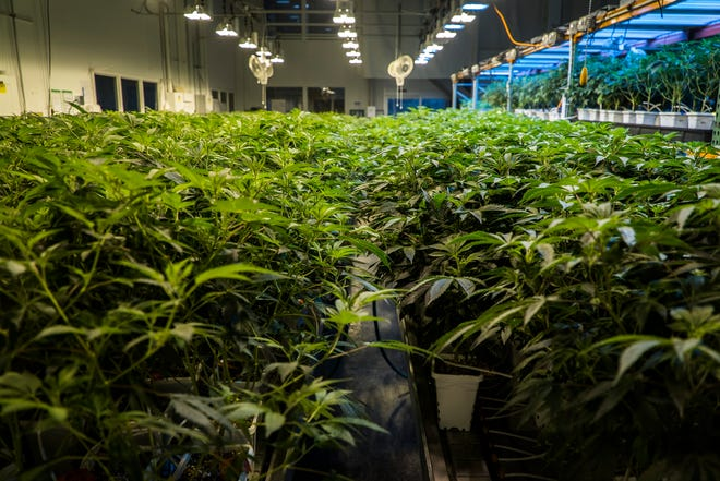 Marijuana plants grow in the 'veg' room at CVD, Inc. in Milton, Vt., on Tuesday, March 19, 2019. New plants will spend 4-6 weeks in this area until they flower and are moved to larger pots for further growth. The facility produces a wide range of medical marijuana products containing THC as well as CBD products.