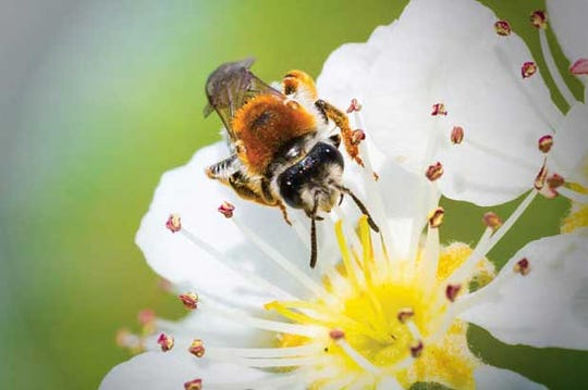 Bees are an essential part of our ecosystem, but they can pack a punch with their stinger.
