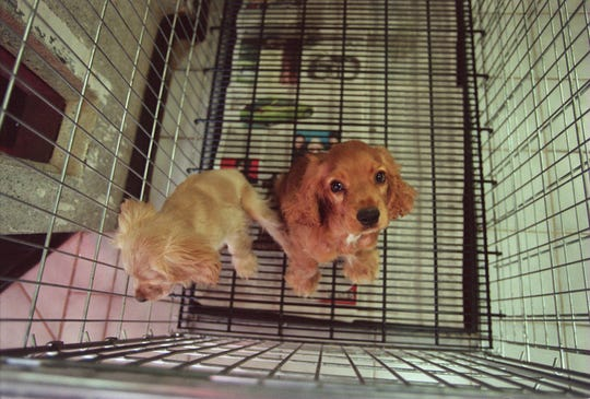 cocker spaniel puppies iowa national puppy laundering ring brought dogs to nj says 5998