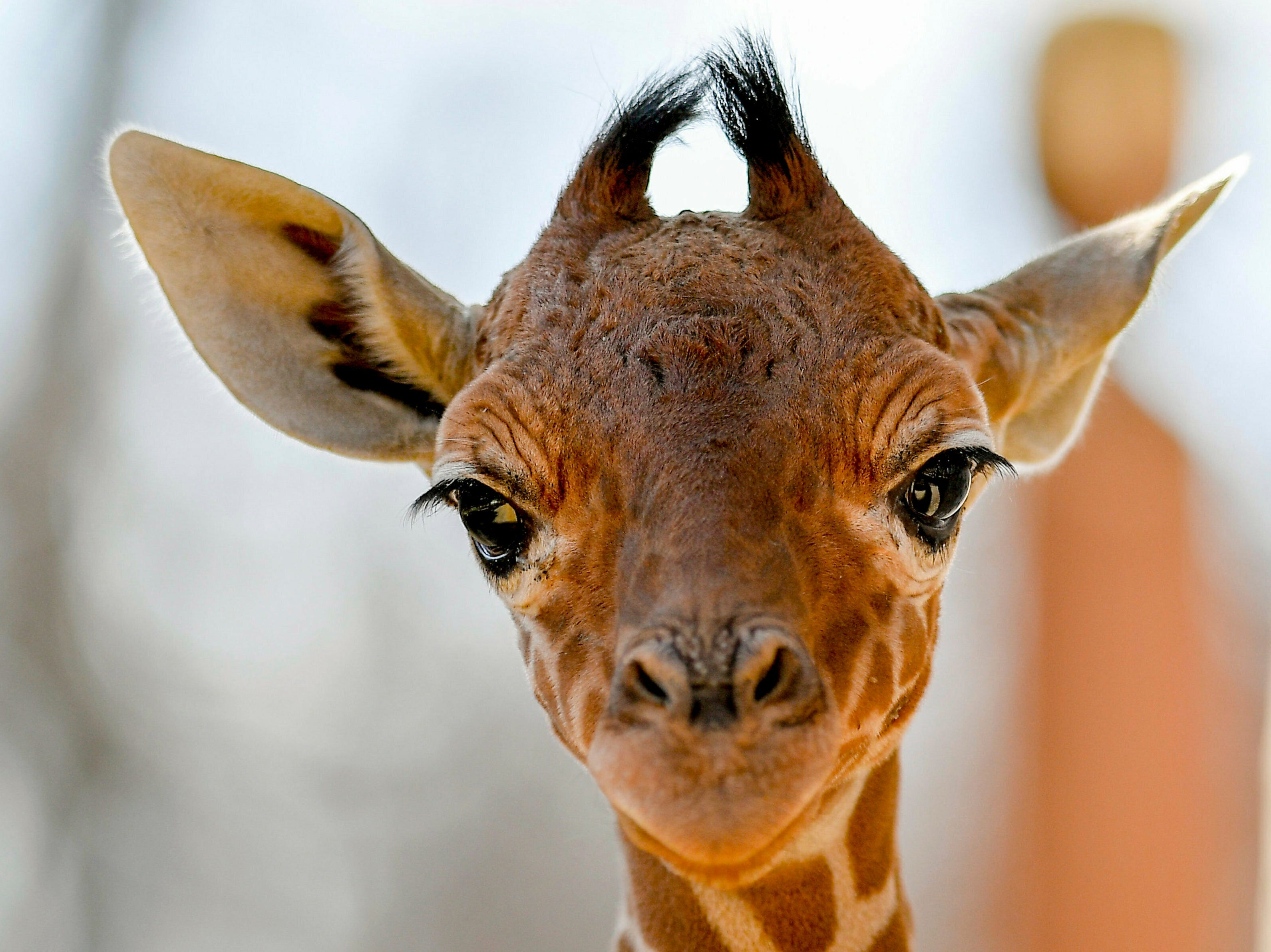 A baby reticulated giraffe, Giraffa camelopardalis reticulata, gazes into the camera in the zoo of Debrecen, Hungary, Wednesday, March 20, 2019. The calf was born two and half weeks ago. This species of giraffe is native to Somalia, Ethiopia and Kenya.