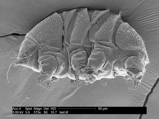 "A tardigrade of the class Heterotardigrada, also known as a ""water bear."""