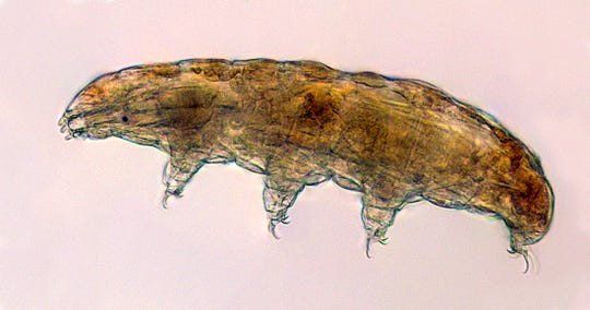 "A tardigrade, also known as a ""water bear."" The small animals, about the size of a period, are able to survive extreme heat, cold, radiation and even the vacuum of space."