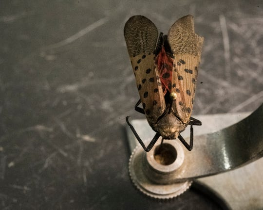 An adult spotted lanternfly that was sent to Howard Russell, an entomologist at Michigan State University.