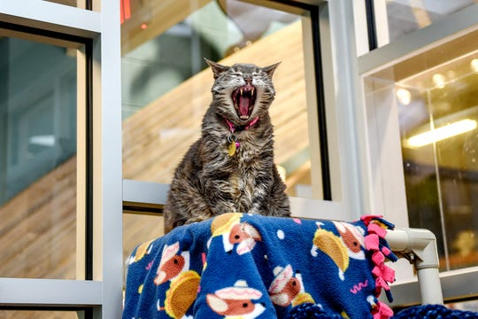 Grace, a 10-year-old female cat up for adoption, yawns in one of the cat rooms on Wednesday, March 20, 2019, at the Capital Area Humane Society in Lansing. About 15 cats from the humane society will be housed at the The Trendy Tabby Cat Cafe and will be available for adoption.
