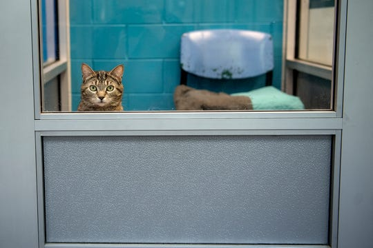 Thumbelina, a 2-year-old female cat up for adoption, peeks out of a window in one of the cat rooms on Wednesday, March 20, 2019, at the Capital Area Humane Society in Lansing. About 15 cats from the humane society will be housed at the The Trendy Tabby Cat Cafe and will be available for adoption.