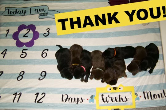 A litter of Australian shepherd Labrador puppies are with a foster family after being rescued from a garbage can in Marshfield.