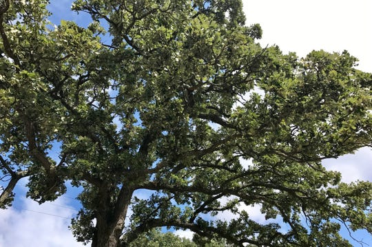 Native oak trees such as this burr oak support well over 500 beneficial insects that birds rely on, especially when feeding their young in spring.