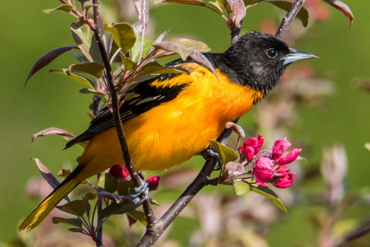 The Audubon Society website provides a useful Native Plant Database to help attract specific species of birds such as the Baltimore oriole with its arrestingly lovely song.