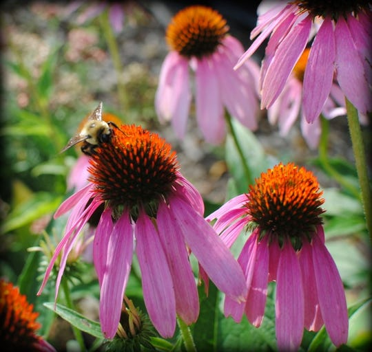 Seeds from native coneflowers are highly desired by birds.