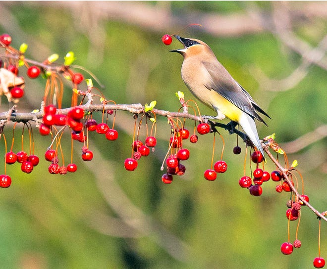 A cedar waxwing steadies itself on a backyard branch as it catches a berry in its beak.