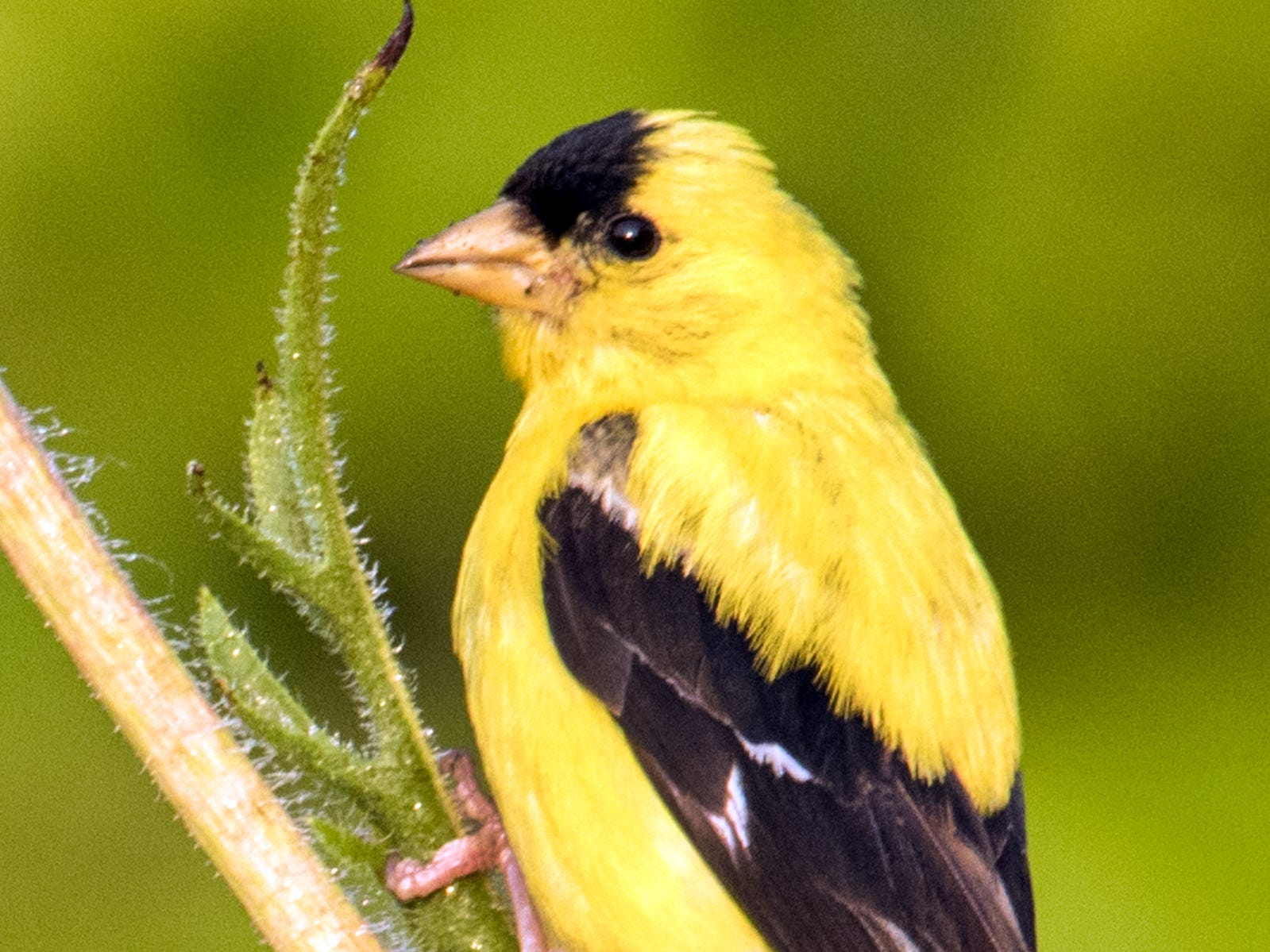 Good-natured goldfinches fly in a distinctive pattern and are a joy to watch; lure these bright birds to your yard with coneflowers and other native plants.