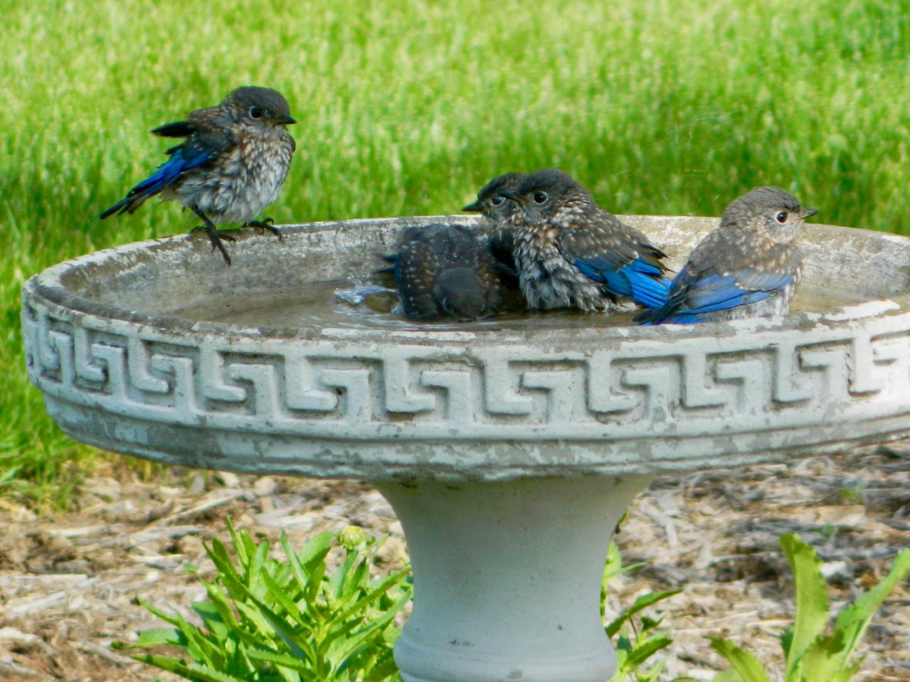 Birdbaths are appealing to birds for both bathing and drinking.