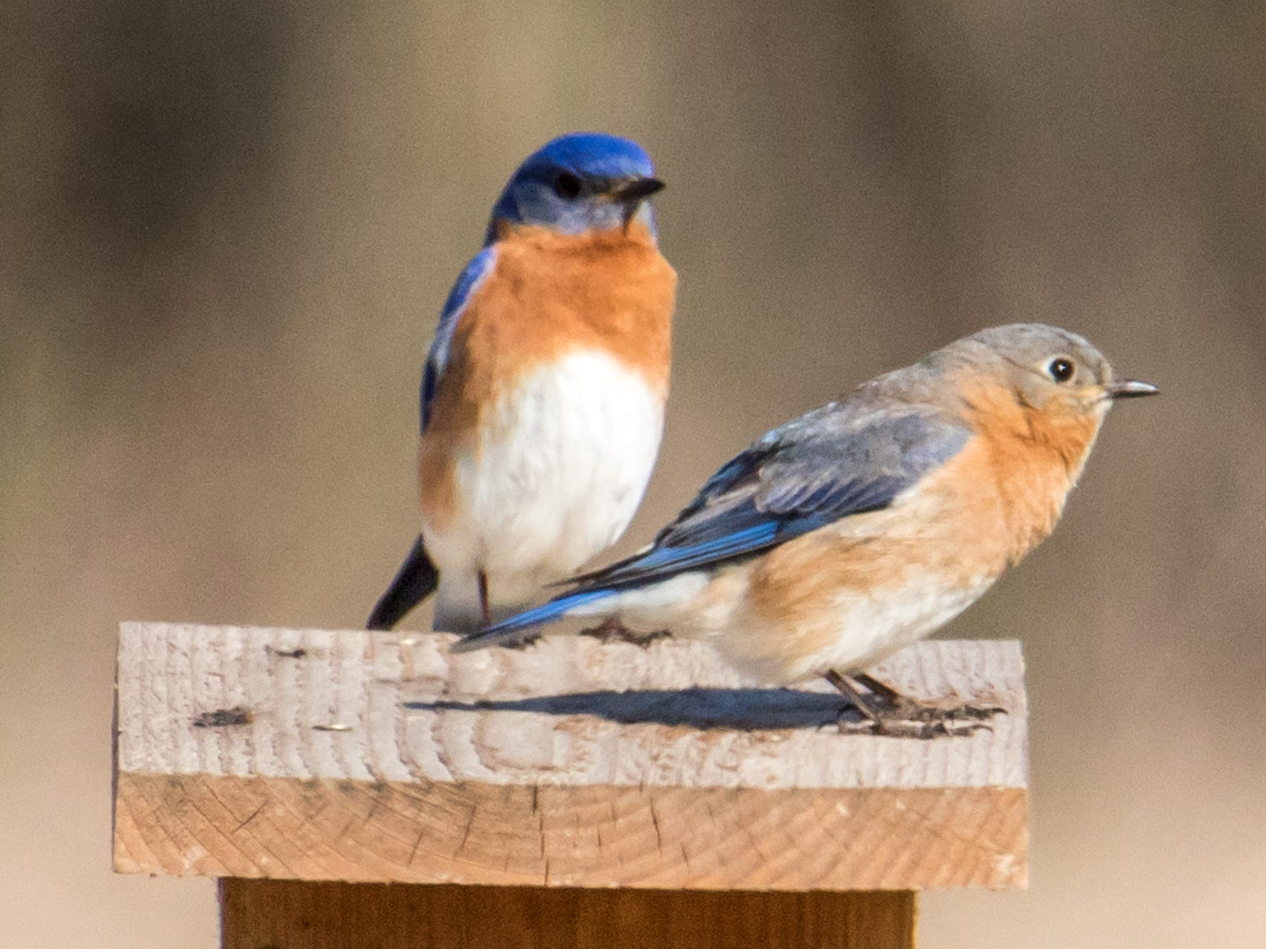 Strikingly-colorful eastern bluebirds benefit immensely from human help with nesting boxes.