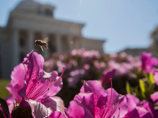 A bee flies in and out of azaleas outside the Alabama State Capitol in Montgomery, Ala., on Wednesday, March 20, 2019.
