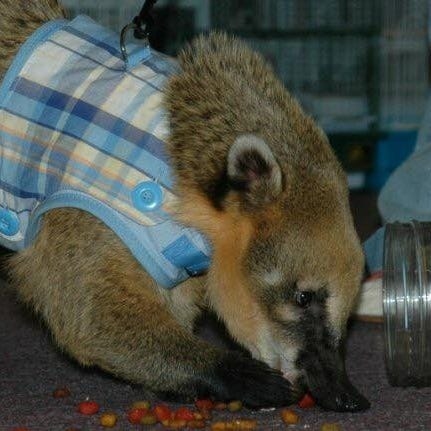 Cody, Animal City's beloved coatimundi, dies at 11 following surgery complications