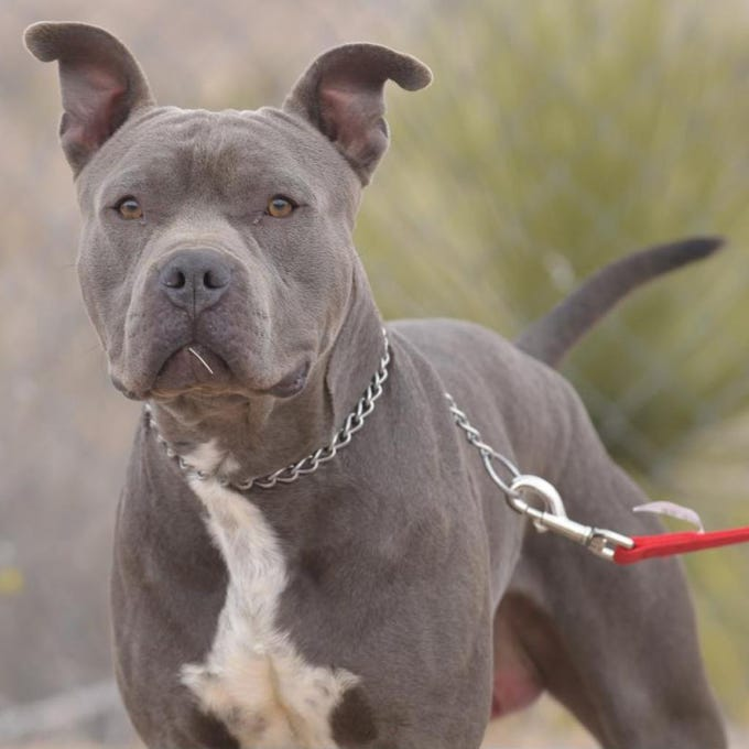 Blackwall - Male (neutered) pitbull, about 2 years and 2 months old.Intake date: 1/15/2019