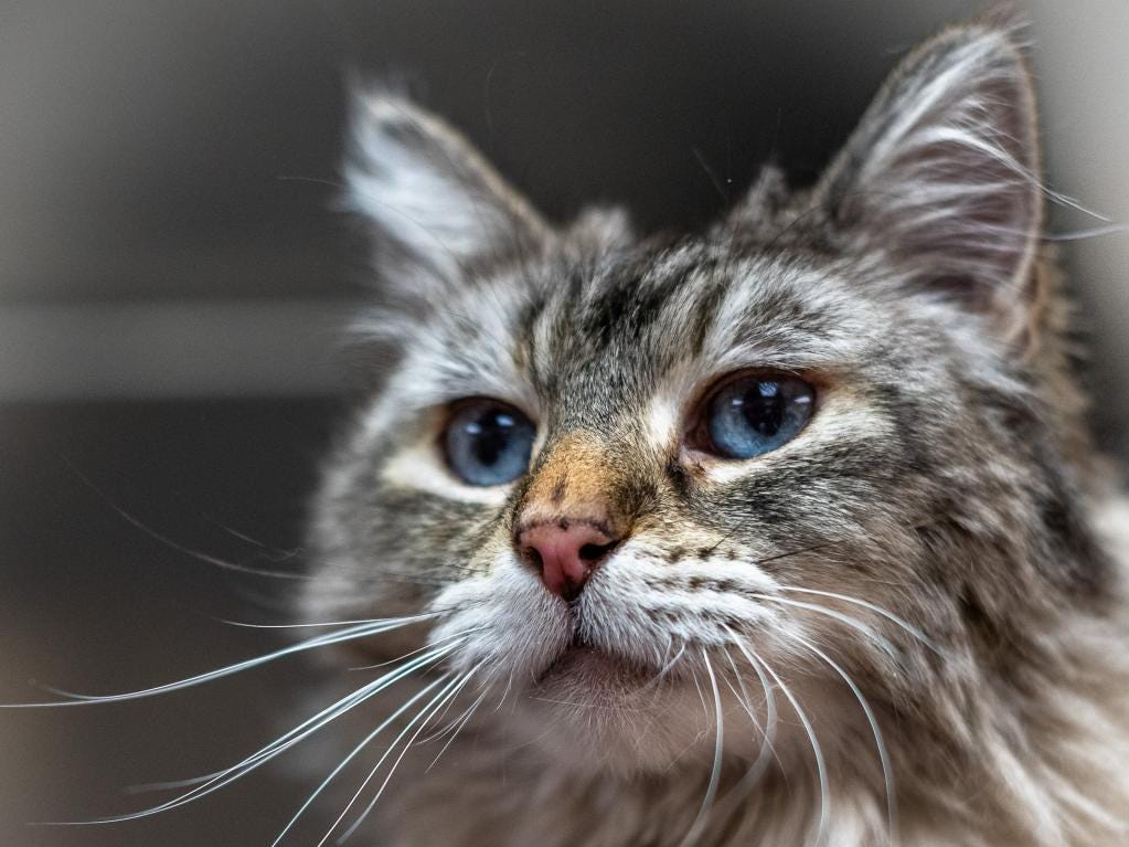 Bonita - Female domestic long hair, about 4 years and 7 months old. Intake date:1/31/2019