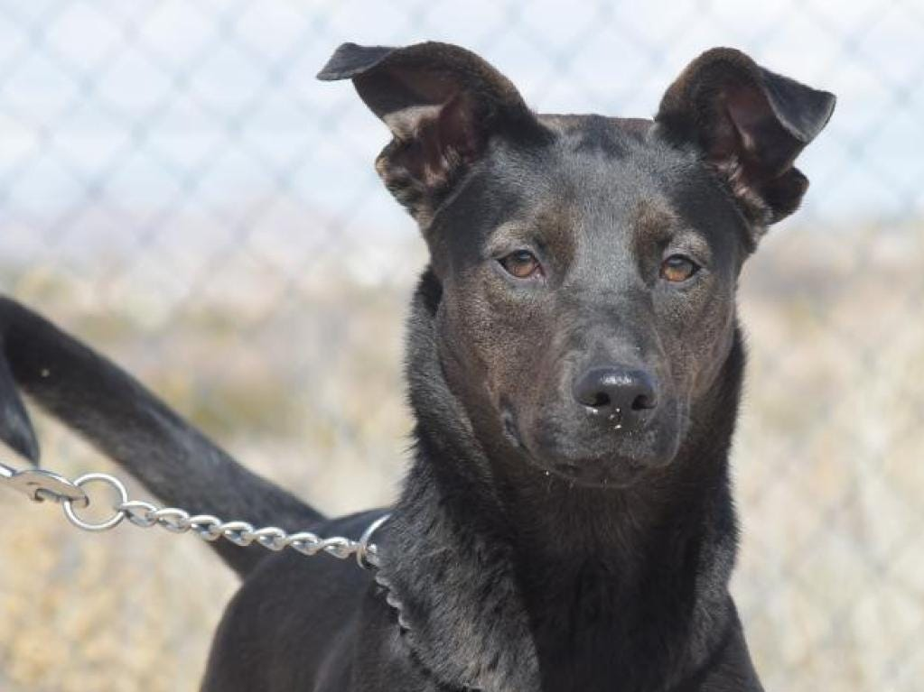Suna - Female (spayed) shepherd mix, about 4 years and 8 months old. Intake date:1/04/2019
