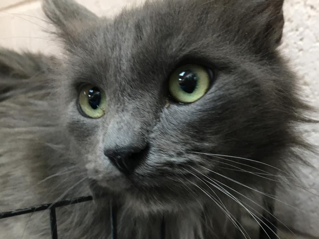 Bagheera - Male domestic short hair, about 2 years and 1 month old. Intake date:3/08/2019